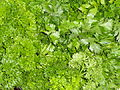 Parsley - Würzburg market - DSC02959.JPG