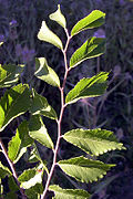 Parvifolia leaves.jpg