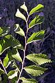Parvifolia leaves.jpg