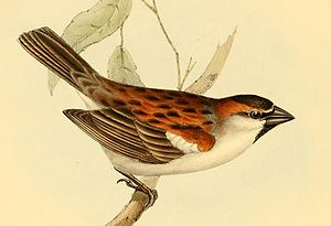 Iago sparrow - Illustration of a male by John Gould