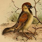 Passer castanopterus.jpg