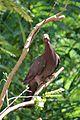 Patagioenas squamosa in Barbados a-12.jpg