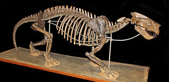 Creodonta - Mount of oxyaenid Patriofelis from the American Museum of Natural History.
