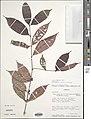 Pauridiantha talbotii-NMNH-02374976.jpg