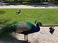 Pavão, Parque Marechal Carmona em Cascais. (37244256825).jpg