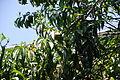 Peach Tree 8 2013-06-30.jpg