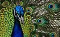 Peacock. (8315385611).jpg