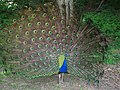 Peacock - panoramio - A-Reck.jpg