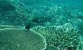 Peacock Hind (Cephalopholis argus) (6132510809).jpg