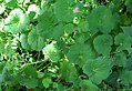 Pelargonium odoratissimum 0zz.jpg