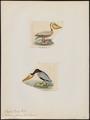 Pelecanus fuscus - 1700-1880 - Print - Iconographia Zoologica - Special Collections University of Amsterdam - UBA01 IZ18000181.tif