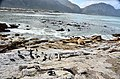 Penguin colony in Hermanus 24.jpg