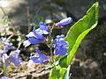 Penstemon True Blue - Flickr - peganum (3).jpg