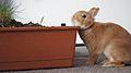 Pentacon 1.8-50, Bunny f1.8 (5766028974).jpg