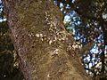 Peperomia sp. (6776646650).jpg