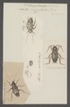Periplaneta - Print - Iconographia Zoologica - Special Collections University of Amsterdam - UBAINV0274 065 02 0014.tif