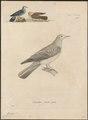 Peristera cinerea - 1700-1880 - Print - Iconographia Zoologica - Special Collections University of Amsterdam - UBA01 IZ15600211.tif