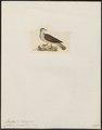 Peristera frenata - 1820-1860 - Print - Iconographia Zoologica - Special Collections University of Amsterdam - UBA01 IZ15600233.tif