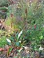 Persicaria griffithii (22058971904).jpg
