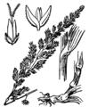 Phalaris arundinacea Coste 3919.png