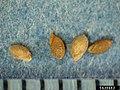 Phleum pratense fruit (01).jpg