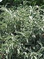 Phlomis angustifolia (21389132288).jpg