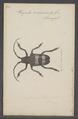 Phryneta - Print - Iconographia Zoologica - Special Collections University of Amsterdam - UBAINV0274 034 09 0014.tif