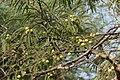 Phyllanthus emblica L. (49547015732).jpg
