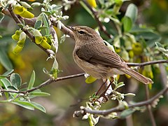 Phylloscopus canariensis -Drago, Gran Canaria, Canary Islands, Spain-8 (1).jpg