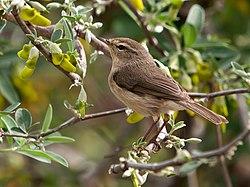 Phylloscopus canariensis -Drago, Gran Canaria, Canary Islands, Spain-8 (1).jpg