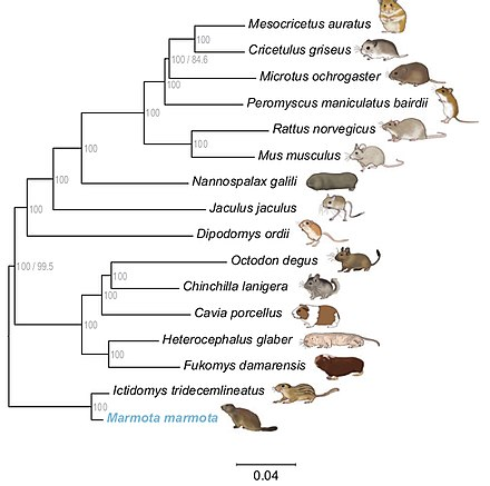 Reconstruction of the phylogenetic tree of Rodentia on the basis of their whole genomes Phylogenetic Tree of Rodentia.jpg