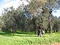 Piana di Gioia Tauro - Uliveti01.jpg