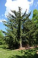 Picea abies 'Kluis' - Stanley M. Rowe Arboretum - DSC03401.JPG