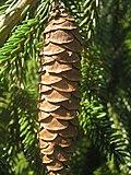 Picea orientalis zampach4.JPG