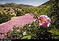 Picking rose to make Golab in Fars 10.jpg