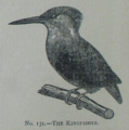 Picture Natural History - No 131 - The Kingfisher.png