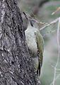 Picus viridis sharpei 028.jpg