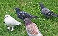Pidgeons - White 09.jpg