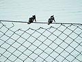 Pied Kingfishers.jpg