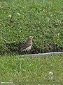 Pied Wheatear (Oenanthe pleschanka) (15274670584).jpg
