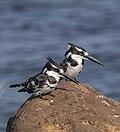 Pied kingfishers (Ceryle rudis rudis) Botswana male (L) female (R).jpg