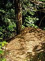 Pieniny – mrowisko przy drodze na Trzy Korony.jpg