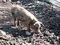 Pig in Stockholm Skansen.jpg