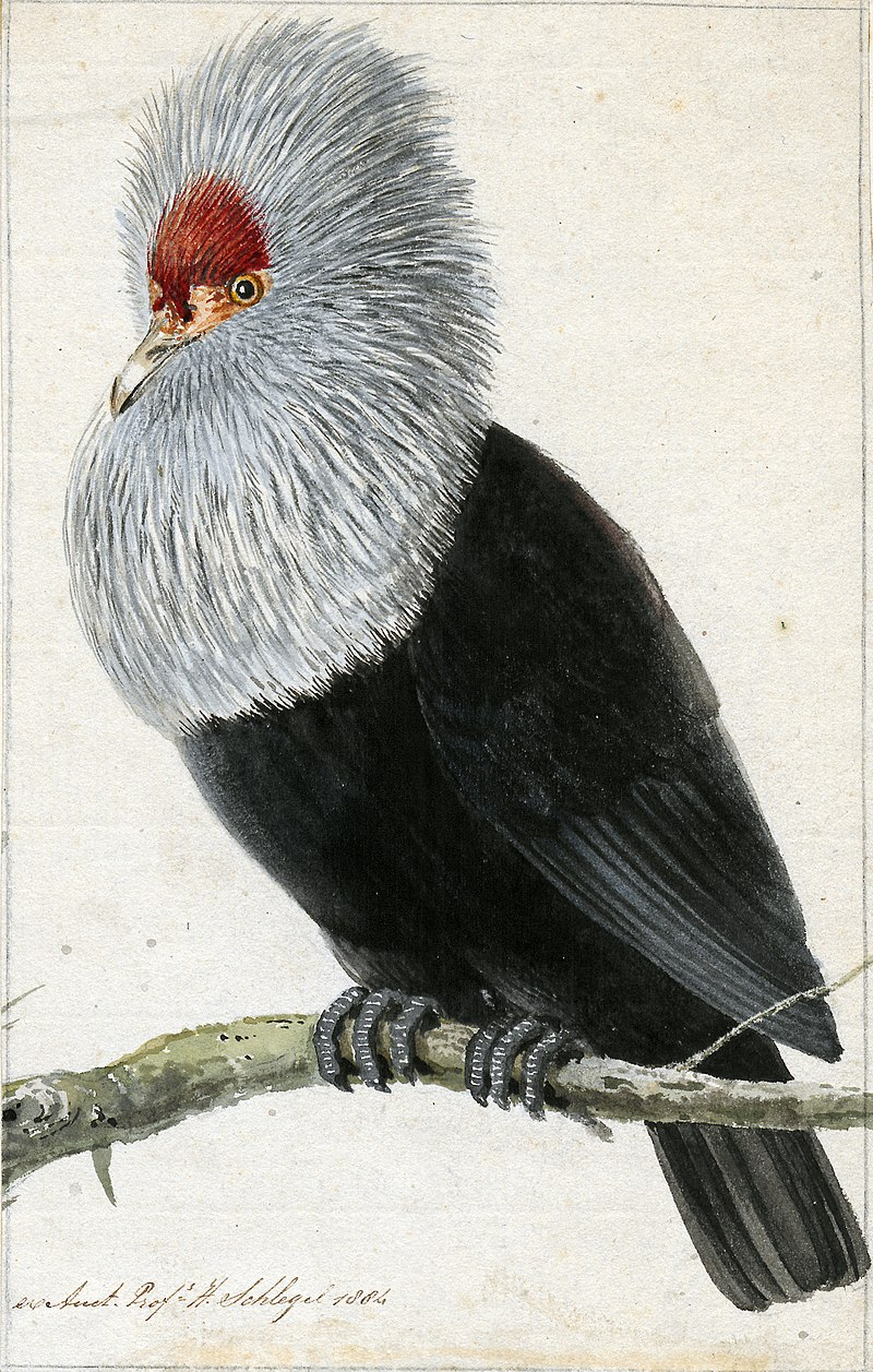 https://upload.wikimedia.org/wikipedia/commons/thumb/c/c4/Pigeon_Hollandais.jpg/800px-Pigeon_Hollandais.jpg