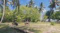Pigs on Wallis island (2).png