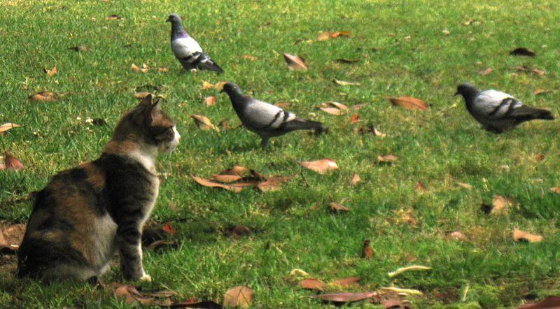 חתול ויונים