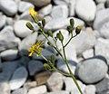 Pilosella piloselloides ENBLA03.jpg