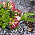 Pine Cones (2684772177).jpg