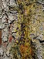 Pine resin - geograph.org.uk - 462173.jpg