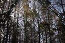 Pine tree forest02.jpg